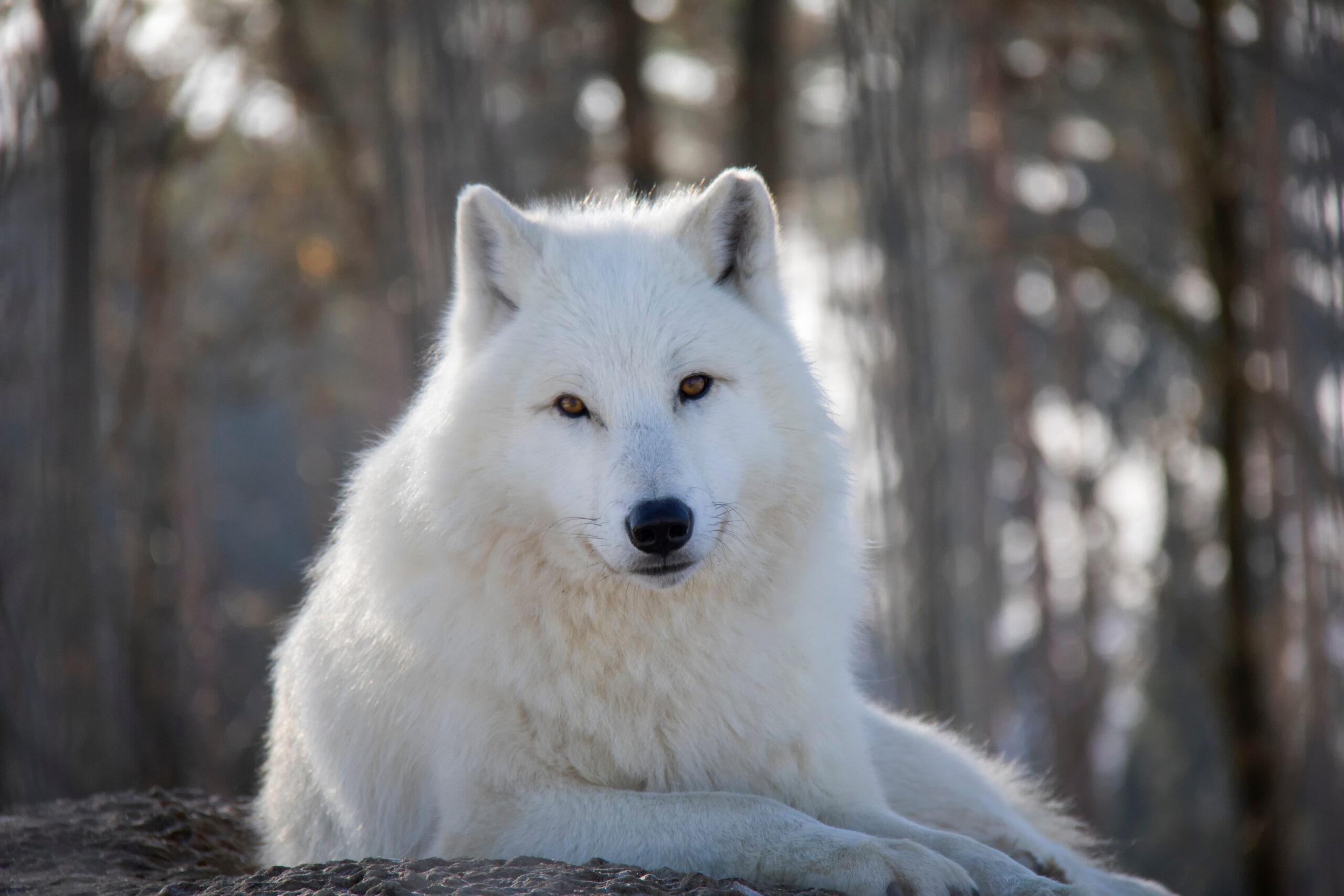 arktički vuk