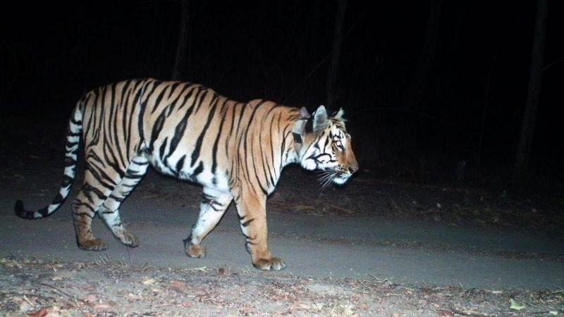indijski tigar