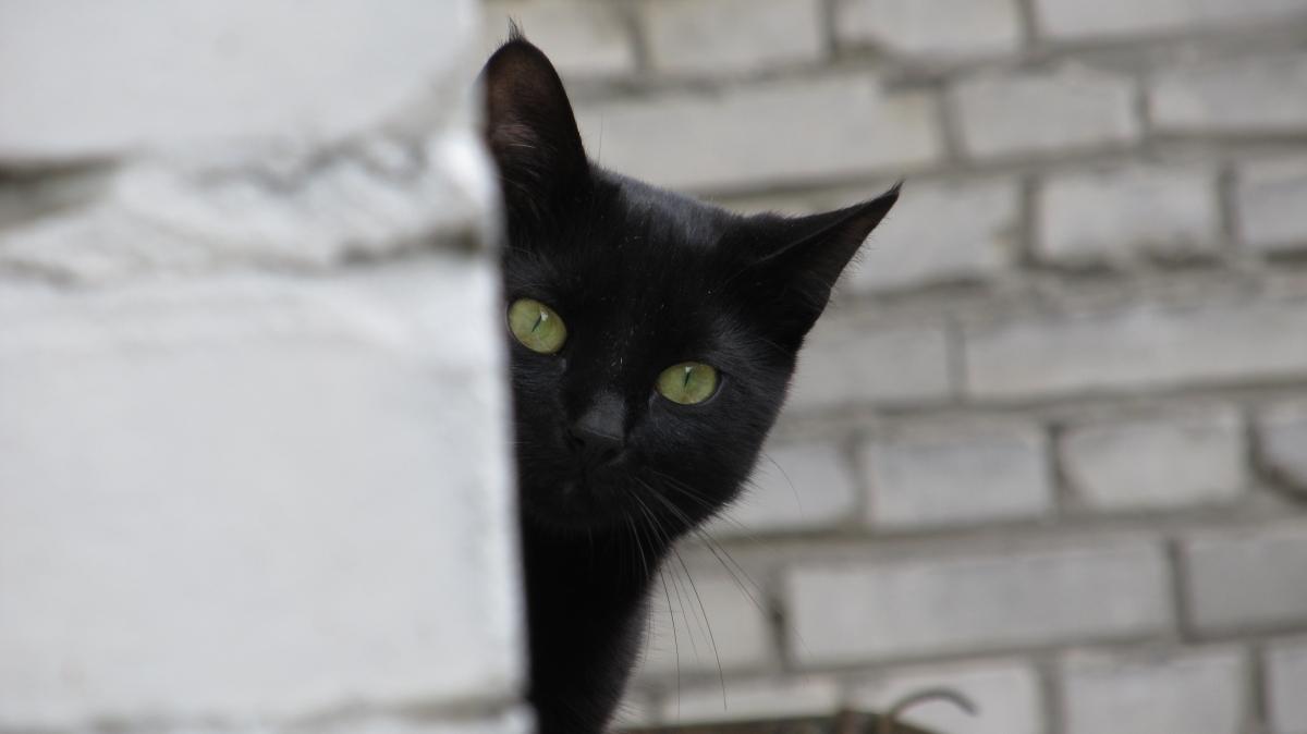 crna mačka viri