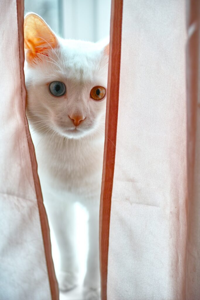 albino mačka