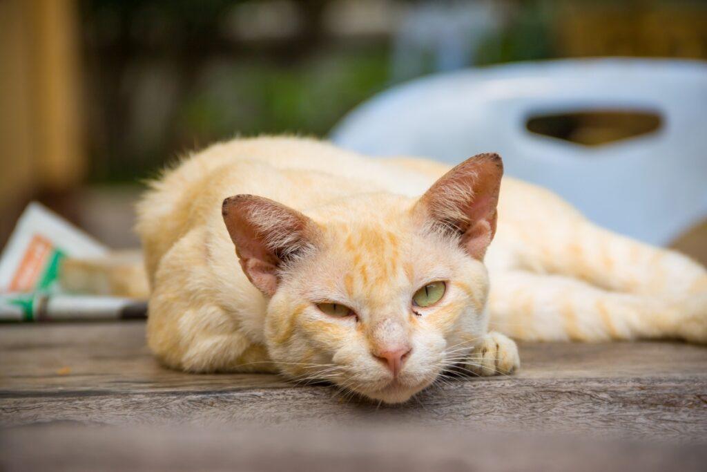 stara mačka