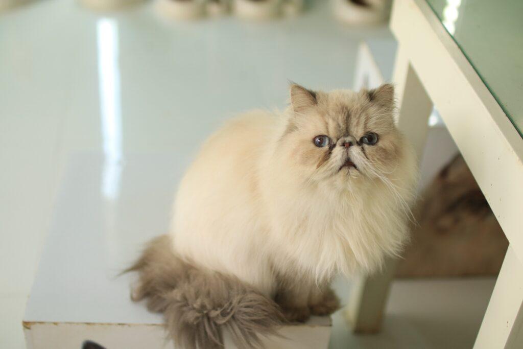 perijska mačka