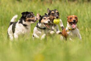 psi na livadi