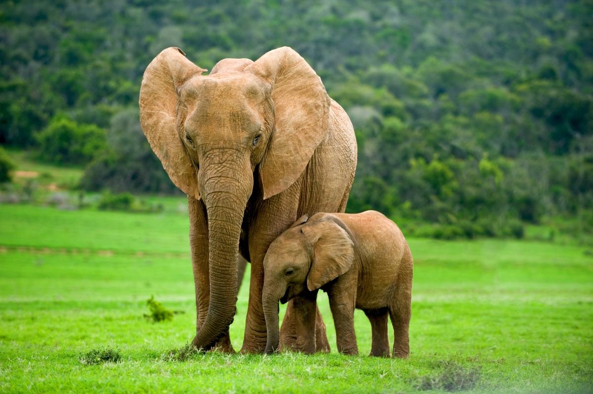 slonica