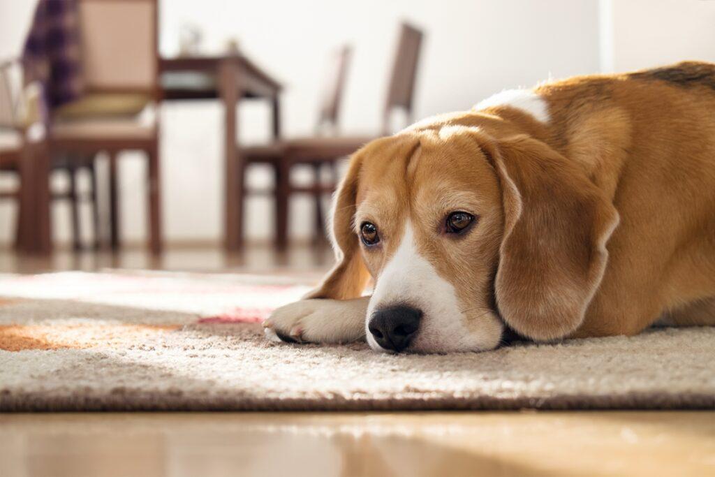 tužan pas