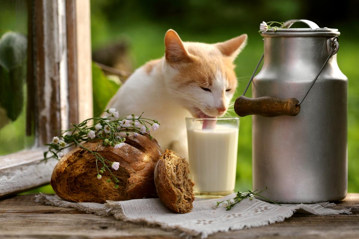 maćka pije mleko